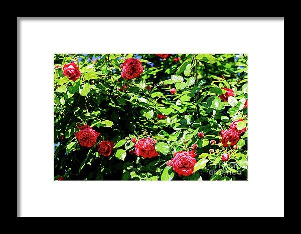 Pink Digitalis Foxgloves Plant Flowers In Garden Framed Print