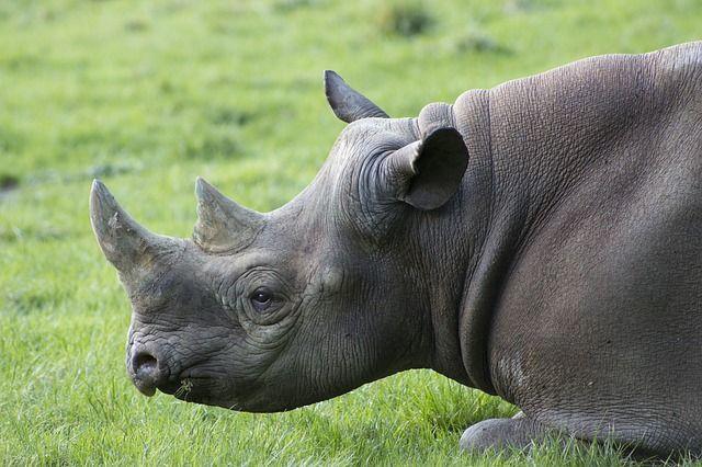 Nashorn, Afrika, Safari, Tier, Tierwelt, Horn, Wild