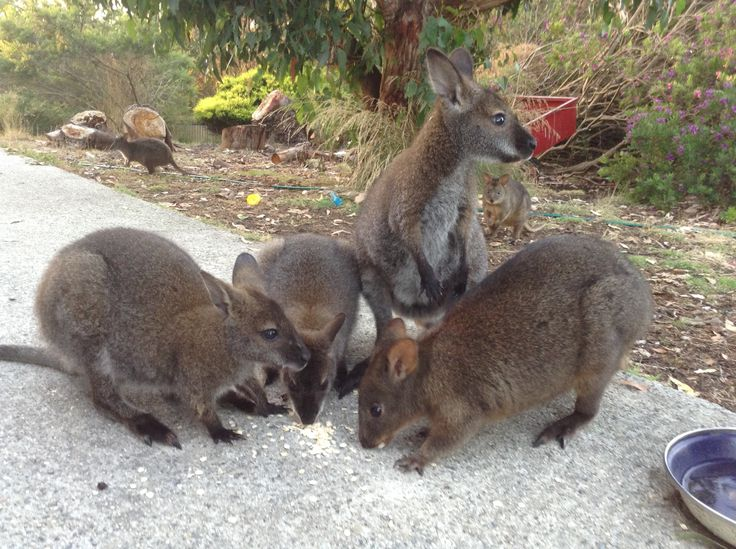 Beautiful wallabies at my house. They come every afternoon to eat oats under our pergola. Most will let you pat them and pick them up. It's awesome!