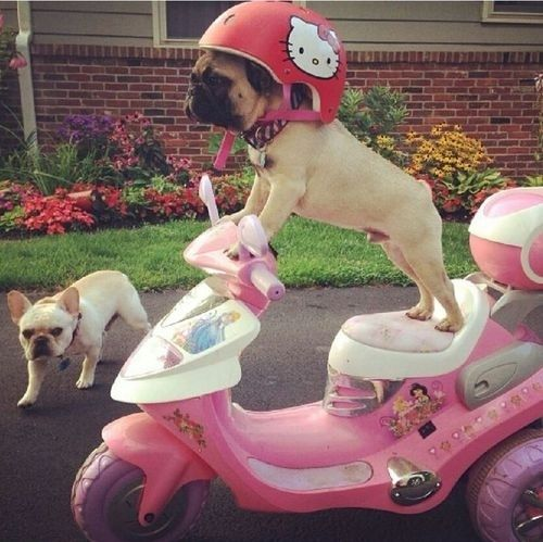 They know how to get around town in style. | 41 Reasons Why Pugs Are The Most Majestic Creatures On Earth