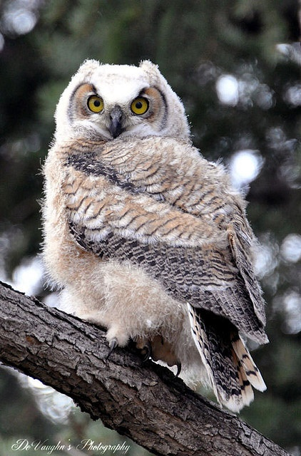 Owl #BirdsofPrey #BirdofPrey #Bird of Prey #LIFECommunity