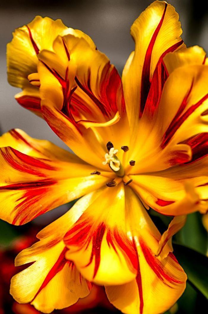 la tulipe, tulipe jaune, belle corolle épanouie