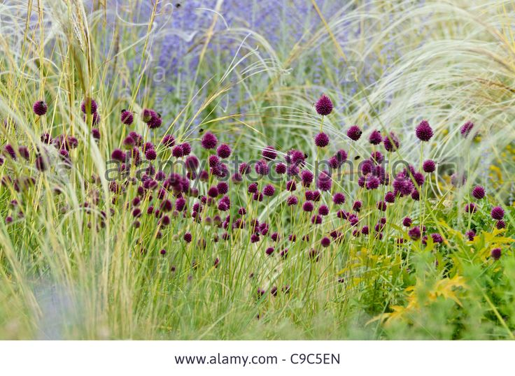 Round-headed leek (Allium sphaerocephalon), feather grass (Stipa barbata) and Russian sage (Perovskia abrotanoides) Stock Photo Also going into the green grasses area (deschampsia) - 522 of these (they are small?), along with the allium aflatanense Purple sensation Also in with the red grasses (Panicum)