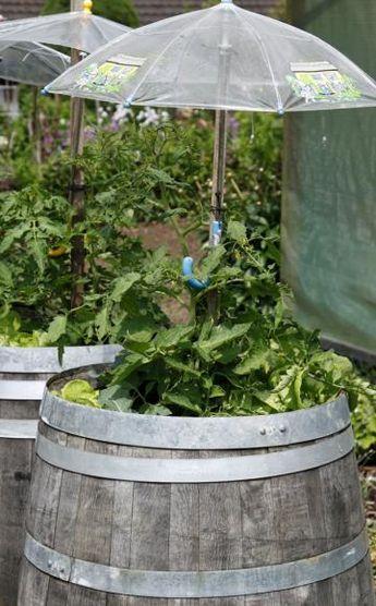 tomatenhaus selber bauen garten pinterest tomatenhaus tomaten und gesund. Black Bedroom Furniture Sets. Home Design Ideas