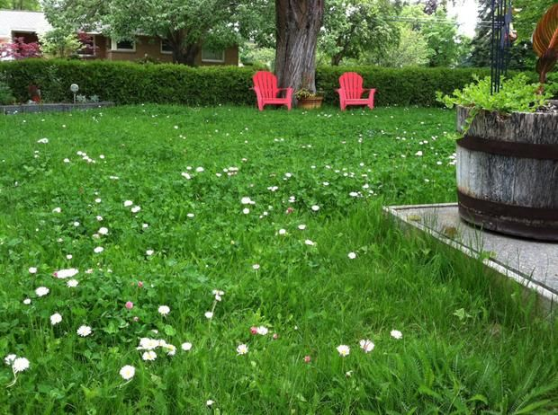 no-mow lawn (chamomile, clover, yarrow)