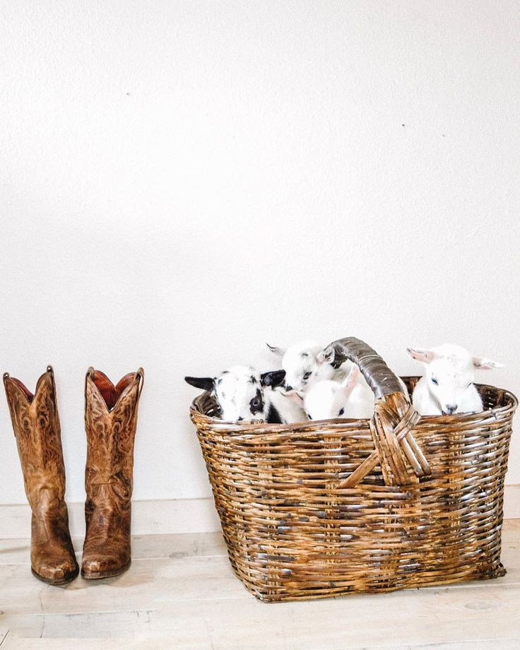Baby Goats in a Basket