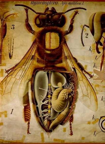 Anatomy Of The Honey Bee, No.13, Pfurtschellers Zoological Wall Chart