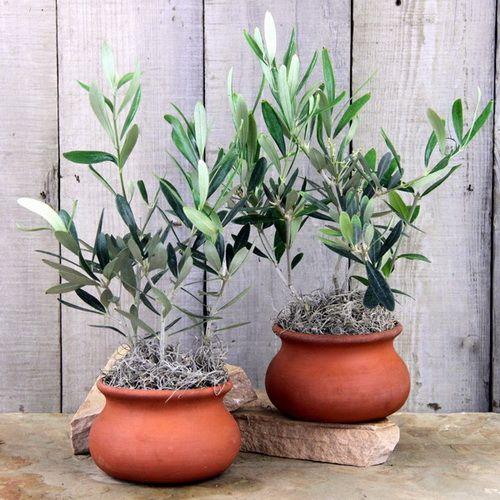 mejores 62 imágenes de macetas de olivo en pinterest | macetas