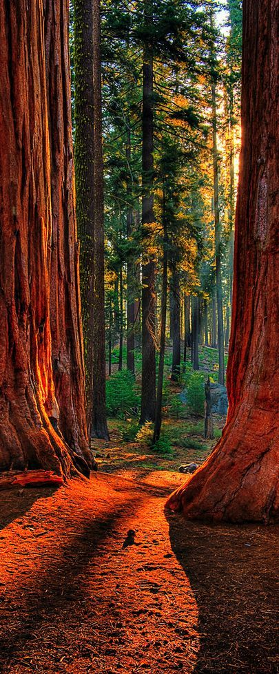 cool Sequoia Road ~ Grant Grove of giant sequoias in Kings Canyon National Park, Cali...