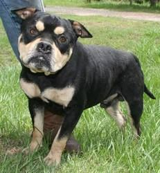 Woody is an adoptable French Bulldog Dog in Sarasota, FL. Woody has recently been rescued from pound in Chipley FL where he is in foster. He will then be transferred to foster in Port Charlotte and n...