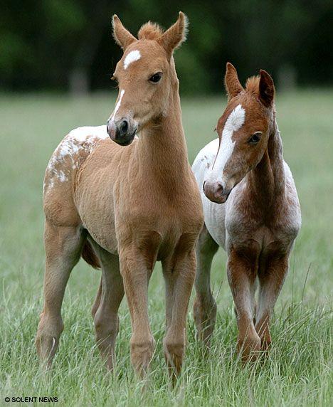 twin foals Appaloosa ponies.