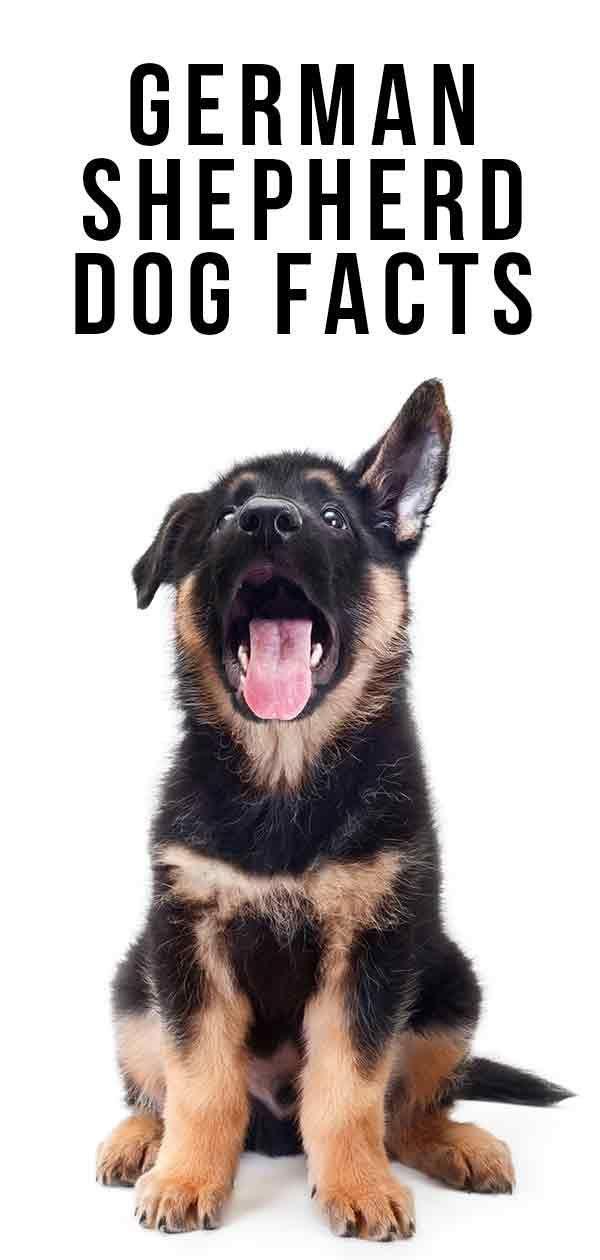 Heartwarming German Shepherd Dogs Funny Videos In 2020 German Shepherd Facts Black German Shepherd German Shepherd Tattoo
