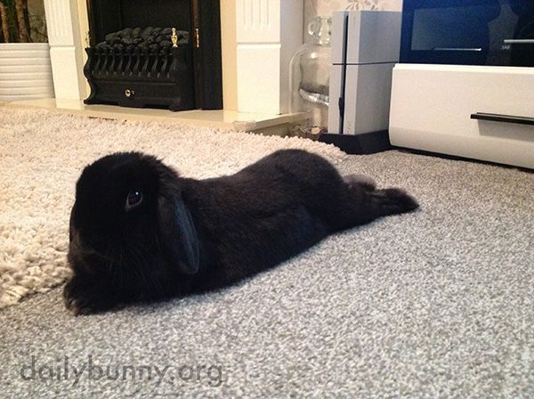 Bunny stretches out in the middle of the carpet - December 30, 2016