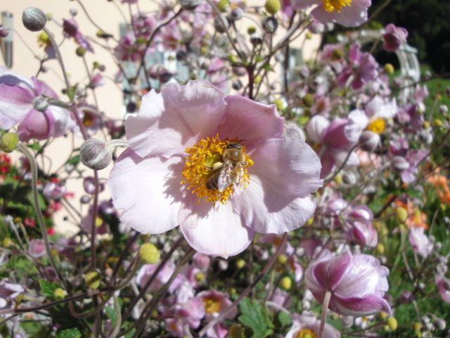 Biene mit Pollenhöschen auf Herbstanemone
