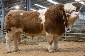 bulls -