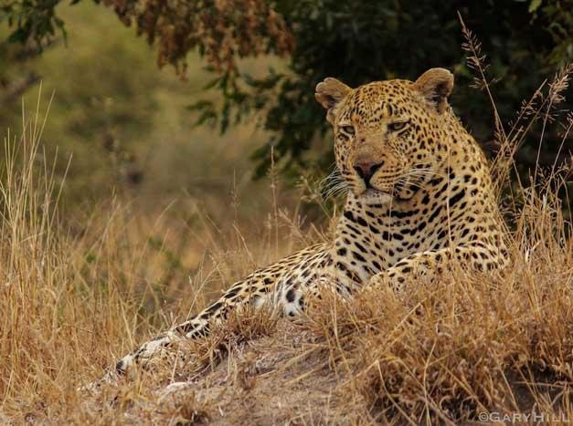 The Airstrip Males shows the scars of his many battles - Gary Hill
