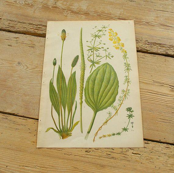 Vintage antieke botanische illustratie Q. origineel boek plaat. Wilde planten. Kleur illustraties bloemen prints. Wand decor. Geel groen