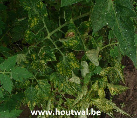 Inheems- en uitheems fruit: Bladverkleuringen bij tomatenplanten?