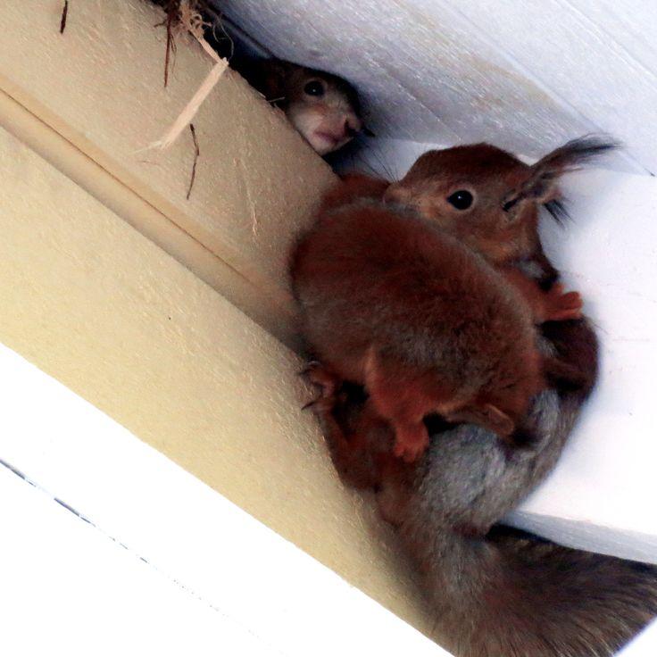 Villa Hiidenmäellä asustelee oravaperhe.