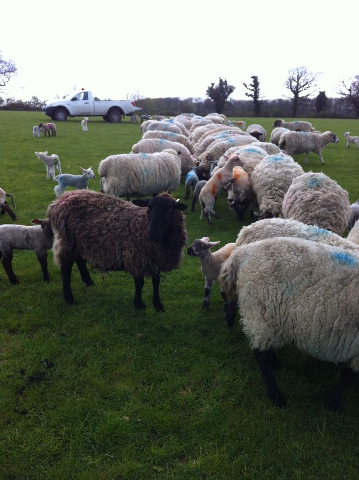 Feeding ewes and lambs in April 2012