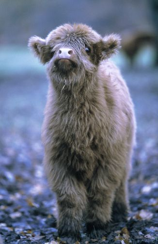 A Highland Calf--teddy bear style.