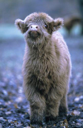 A Highland Calf
