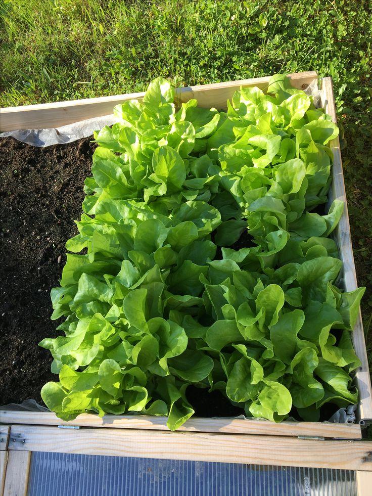 Sjekk kor godt salaten gror som æ har sådd :)