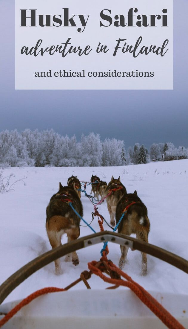 Where to go on ethical husky safari #Finland adventure near #Helsinki? Read this guide for advice on a day trip from Helsinki dog sledding experience in Finland. What you should know about ethical side of dog sledding.