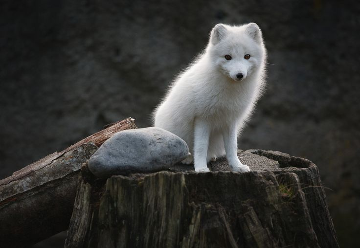 young artic fox: Beautiful Animal, Gifts Cards, Animal Photography,  White Foxes, Victoria Secret, Artic Foxes, Funny Animal, Arctic Foxes, Trees Stumps