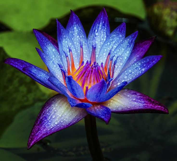 Water lily by 3rdeyemonster  on 500px