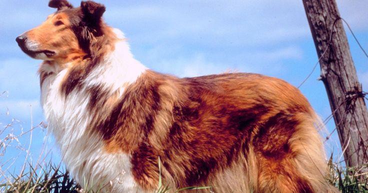 Como aparar os pelos de um collie de pelo longo. Os collies são cães de pelagem dupla, cujos pelos estão presente em duas variedades: áspera e lisa. O sobrepelo de um collie de pelo longo é reto e áspero ao toque, enquanto o subpelo é macio e abundante. O pelo áspero do collie atua como um isolante térmico e protege o cão do calor durante o verão, e do frio no inverno. Não é necessário tosar a ...