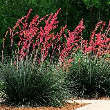 Hesperaloe parviflora - Texas Red Yucca