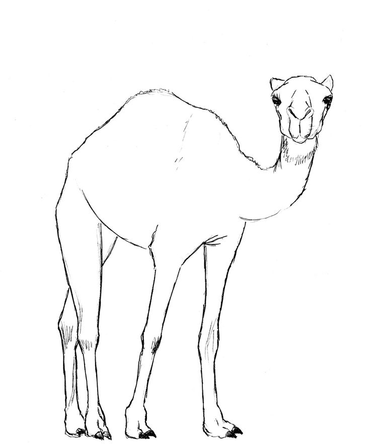 draw camel pencil