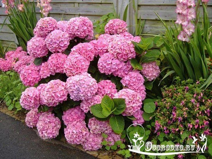 Как правильно посадить и вырастить гортензию в саду или на даче    Гортензия светолюбива, поэтому предпочитает солнечные места, но может расти и в полутени. Лучшее время для посадки весной первая половина мая, осенью - сентябрь.    Посадочные ямы выкапывают размером 50x50x60 см на расстоянии 1-1,5 м одна от другой. Их доверху заполняют почвенной смесью, состоящей из перегноя, листовой 14 земли, торфа, песка (2:2:1:1) и удобрений (10 кг перегноя, 20 г мочевины, 60 г гранулированного…