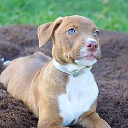 Pictures of Cranberry a Pit Bull Terrier for adoption in College Station, TX who needs a loving home.