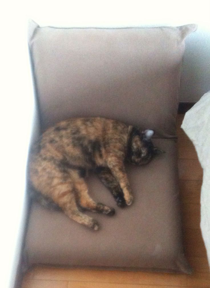 #catsofinstagram #neko #cat #cats #tortie #tortoiseshellcat #tortoiseshell #サビ猫 #p氏 #P神