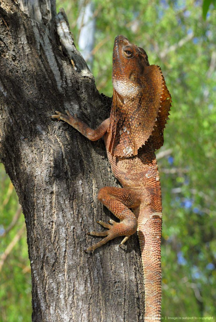 Image detail for -Frilled - or Frillneck Lizard (Clamydosaurus kingii), Darwin, Northern Territory, Australia