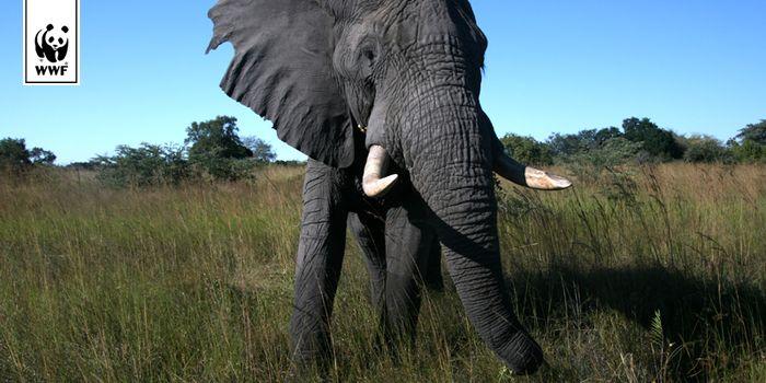 Afrikanischer Elefant © Dr. Andreas Boedecker / WWF