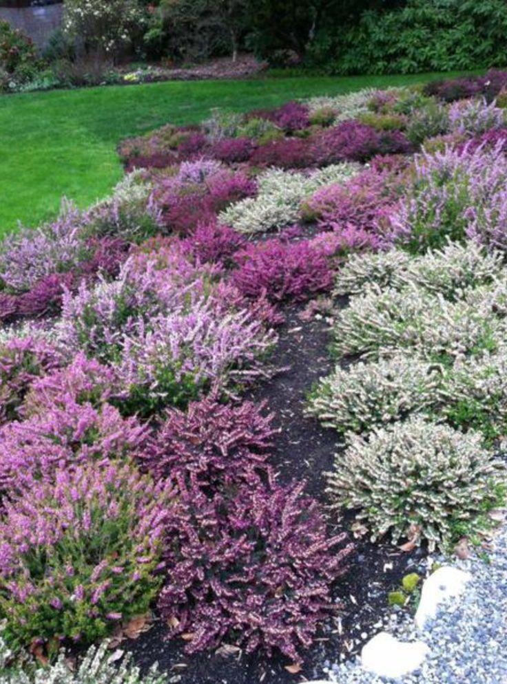 Multi Color Heather On The Slope Heather Gardens Heather Plant Garden Shrubs