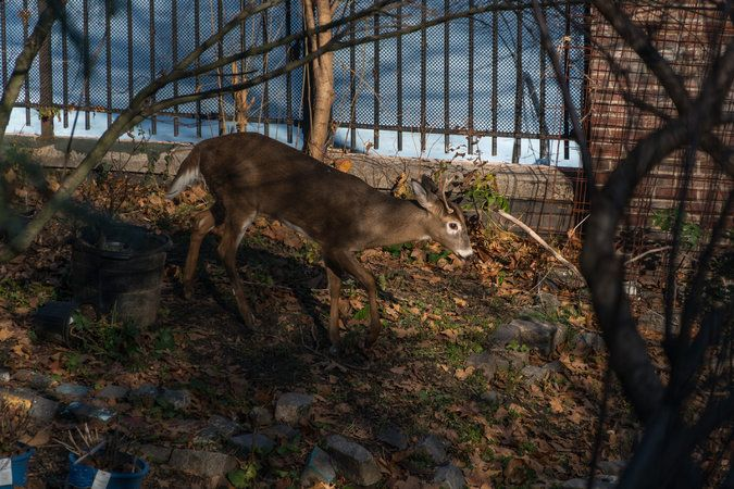 A male deer who has settled in Jackie Robinson Park in Harlem, a block from a subway entrance, has his new neighbors worried about his safety.