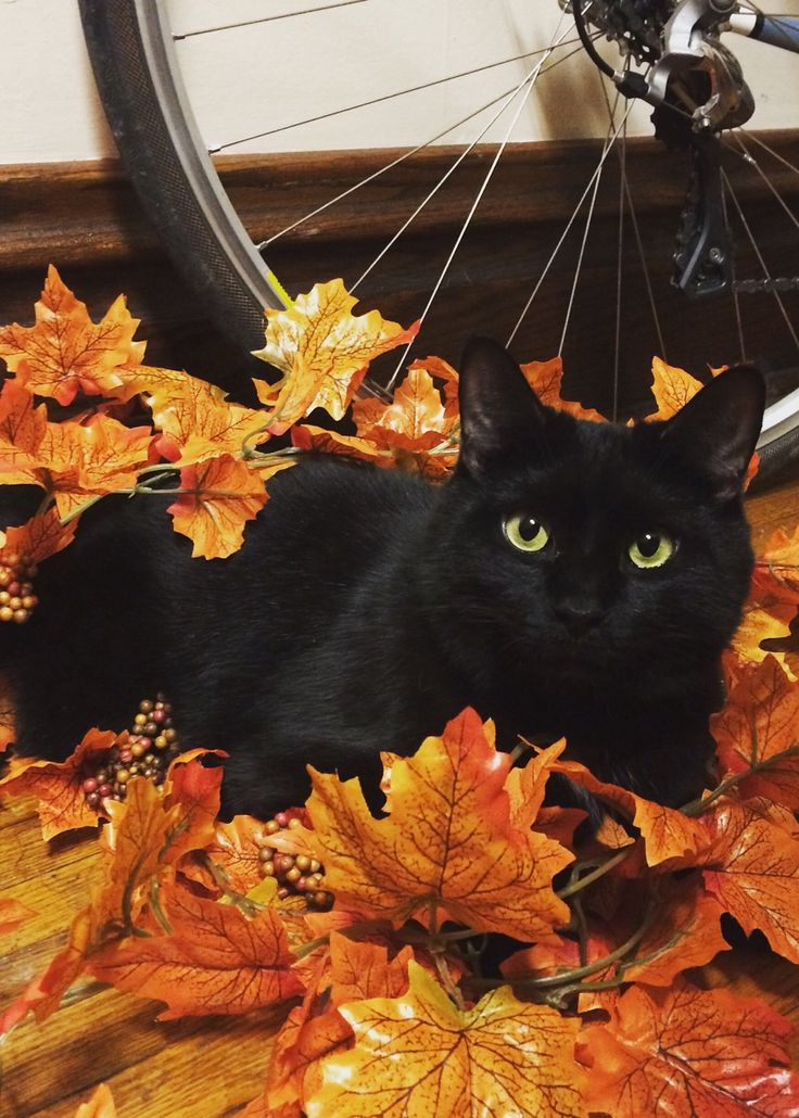vivifi-cation:  Decorating help from one of my favorite black cats.