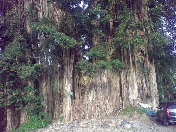 """Giant """"Beringin"""" di Simangambat, Mandailing Natal. Mistis Abis. /via @NandaGoeltom"""