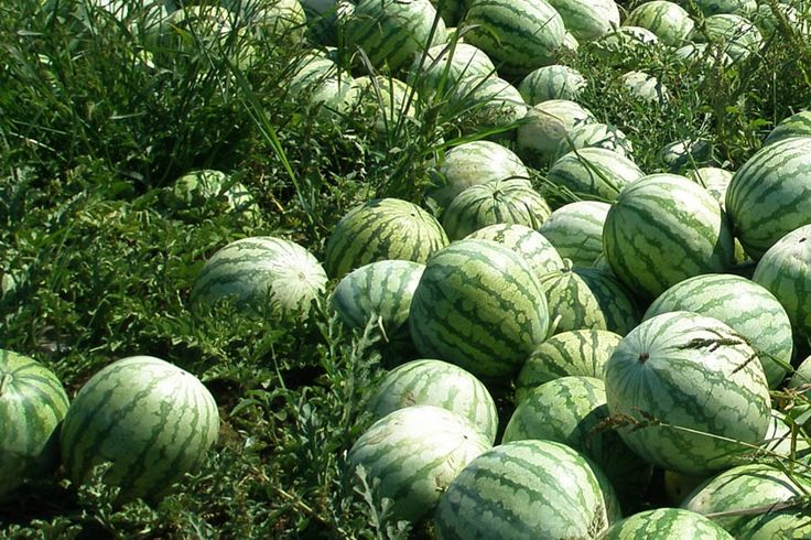 How to Start a lucrative watermelon Farming in Nigeria