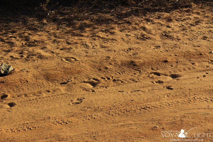 The leopard trails of Yala