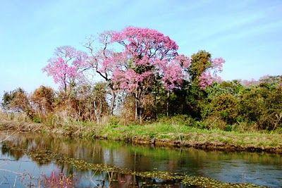 Pantanal do Miranda * Fazenda San Francisco * Pousada e Passeios no Pantanal Sul: [Pantanal MS | Brasil] Agosto, mes dos Ipes floridos no Pa...