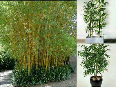 30-MOSO-BAMBOO-SEEDS-Phillostachys-Edulis-Fast-Growing-Great-Screen-Garden
