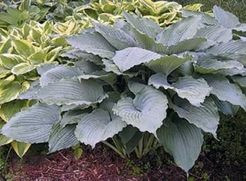 """Hosta 'Queen of the Sea' (M. Seaver 01)    Zone 3-8   Height 24""""    Culture Light Shade    Origin Hybrid     The 4' wide clumps of heavily pie crust-edged, pointed, blue-green leaves form an architectural clump. In midsummer, Hosta 'Queen of the Sea' is topped with 3' spikes of lavender flowers...a hummingbird fiesta."""