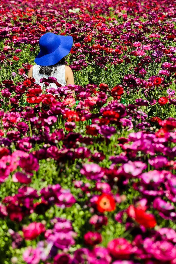 Flower Fields at Carlsbad Ranch, Carlsbad, Southern California - near San Diego. Open from March 1 through May 13  #carlsbad #carlsbadflowerfields #socal #visitcalifornia // Local Adventurer