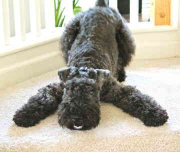 Kerry Blue Terrier. They are members of the terrier group. They are great farm dogs, small fame hunters, and retrievers. They stand at 18 1/2 inches at the shoulder and weigh about 33-40 pounds. Winner: 2003.