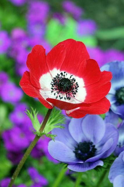 Papoula, Red, Natureza, Campo, Primavera, Verão, Flor